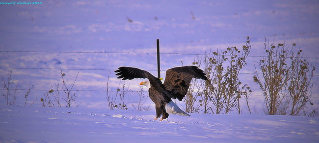 Bald Eagle Preparing To Scavenge A Dead White Tail