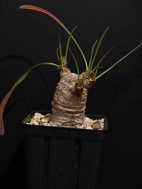 silenifolia