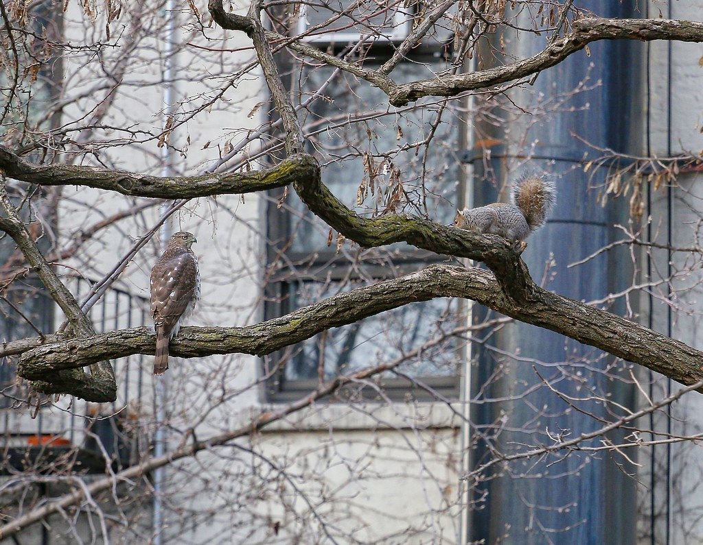 Cooper's hawk and squirrel in the Marble Cemetery