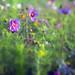 Wild Flowers by wentloog