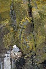 Nesting Kittiwake, Lady's Bed, Isle of May