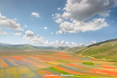 Flowering in Castelluccio