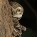 Spotted owlet by Awais.M (1M views+ Views Thank you )