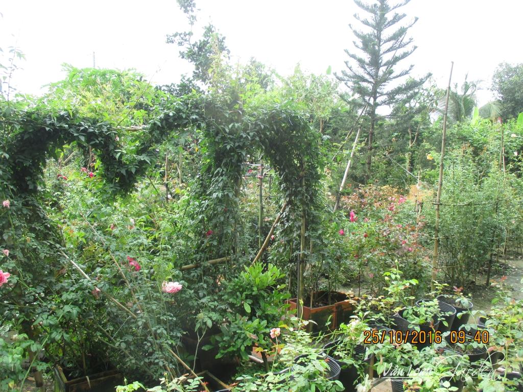 Sử dụng hoa hồng leo Tầm xuân tạo mảng xanh cho vườn hồng
