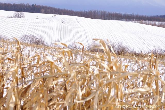立ち枯れ玉蜀黍の丘2