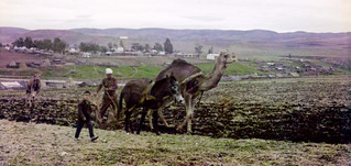 Morocco, plowing scene with a camel and a donkey. 1960s