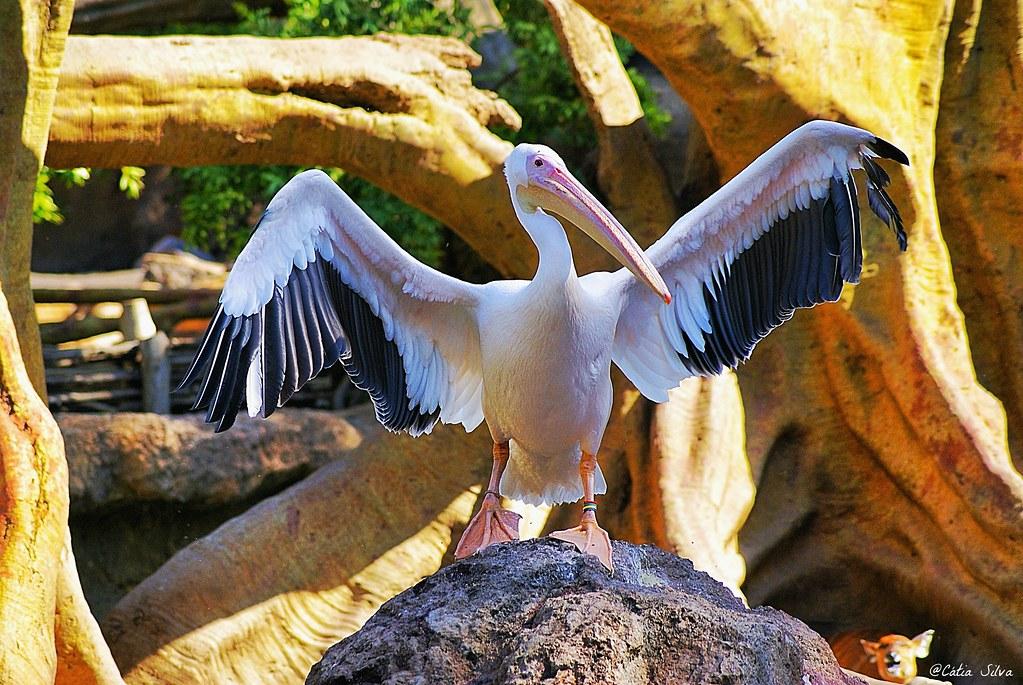 Bioparc Valencia_Africa Ecuatorial (3) Pelicano Comun