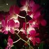Orkidéerna blommar på.