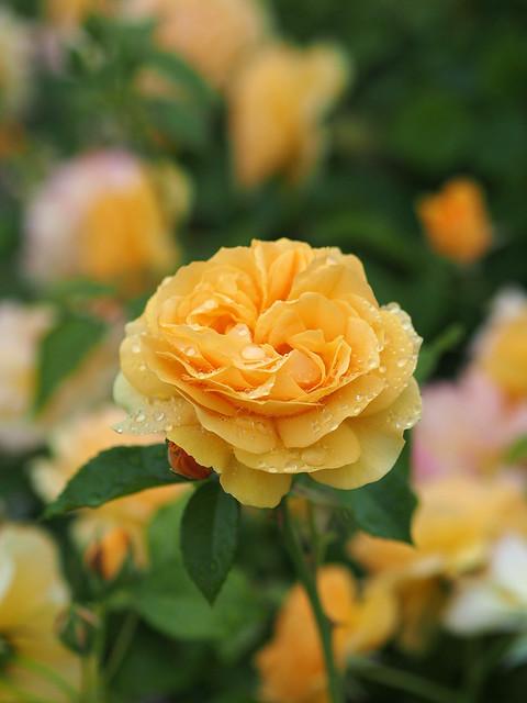 Photo:Rose, Julia Child, バラ, ジュリア チャイルド, By T.Kiya