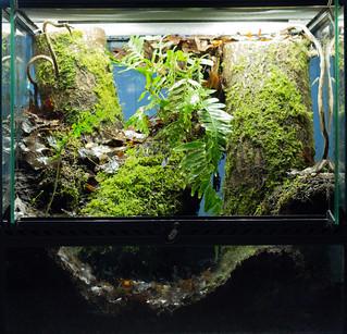 Terrarium Damon variegatus