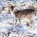 Fallow Deer in Winter Wonderland by Roeselien Raimond