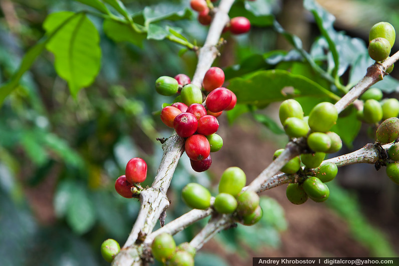 Coffee tree with ripe berries