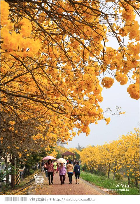 【嘉義景點】嘉義軍輝橋黃金風鈴木~全台最美的堤防!開滿滿的風鈴木美炸了!6