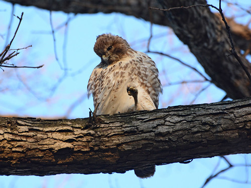 Juvenile Red-Tail - 4505