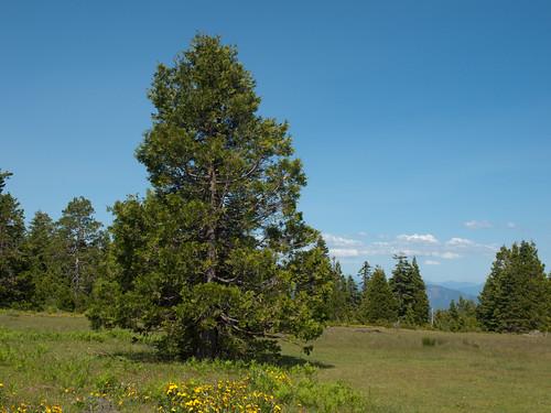 meadow flowering cupressaceae asteraceae balsamorhiza ecosystems calocedrus