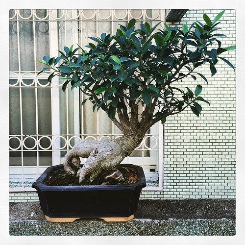 Potted. #taiwan #nantou #caotun #bonsai #南投 #台灣 #草屯