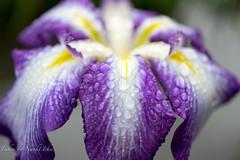花菖蒲/Iris