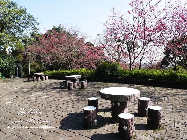 陽明山賞櫻花景點水濂洞 (5)