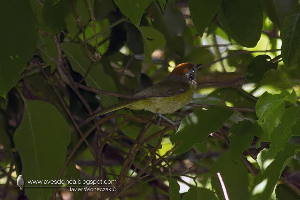 Chiví coronado (Rufous-crowned Greenlet) Hylophilus poicilotis