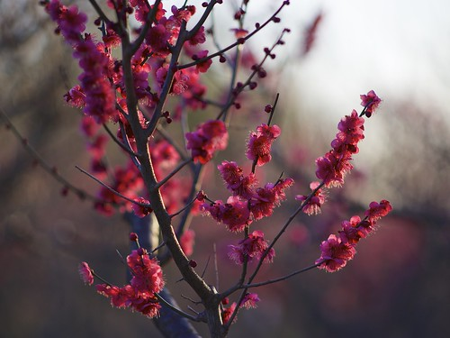 park pink flowers winter light sunset red sun sunlight color japan zeiss botanical gold evening twilight wind blossom plum sunny chiba m42 日本 lightup aasia sunnyday 梅 花見 2015 千葉 tessar япония 冬の花 青葉の森公園 hahami andotime manuallensonly