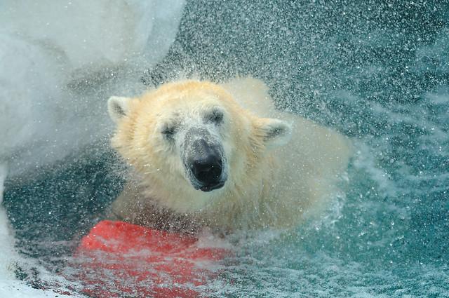 polar bear...