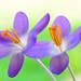 Crocus Flower Study #2 by Don Briggs