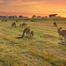 Roos At Sunrise || POTATO POINT || EUROBODALLA by rhyspope