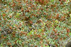 Russet Bushwillow (Combretum hereroense)