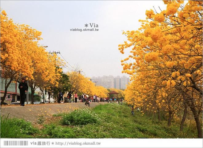 【嘉義景點】嘉義軍輝橋黃金風鈴木~全台最美的堤防!開滿滿的風鈴木美炸了!27