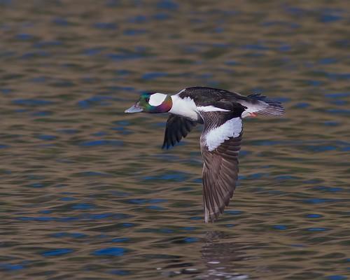 Bufflehead Duck- Pipers Lagoon