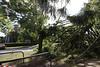 tree damage bunya pine uniting church daylesford_9932
