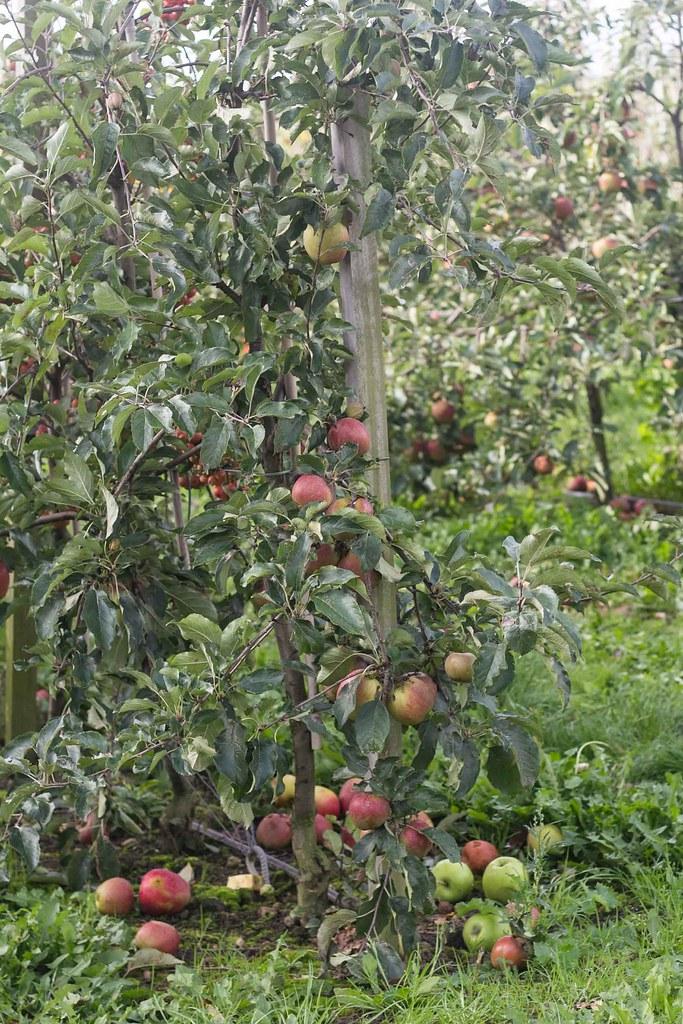 Æblemost (24)