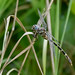 Five-striped Leaftail Female