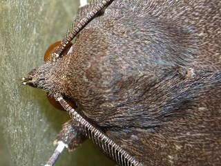 white tip tan and brown owlet moth Noctuidae Airlie Beach P1100096
