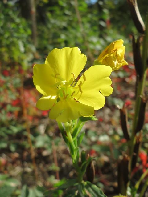 Oenothera biennis, Canon IXUS 510 HS