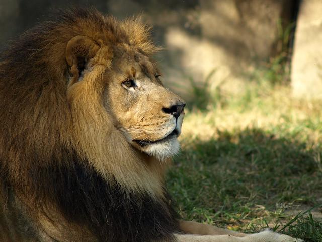 Lion in Memphis