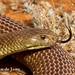 Mulga snake, Pseudechis australis-3.jpg by Jordan de Jong