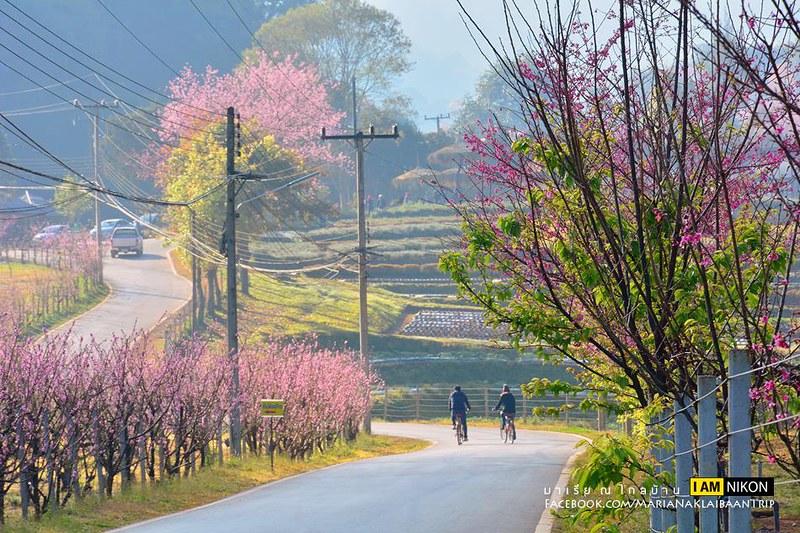 Chiang mai Angkhang sakura trees road side