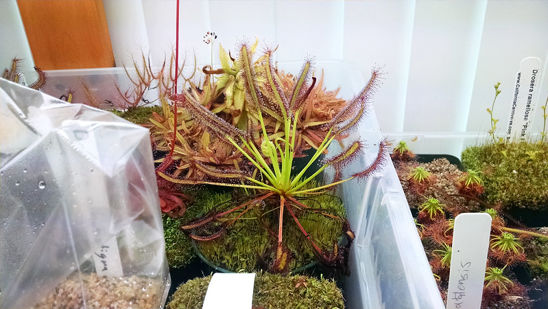 Drosera capensis typical