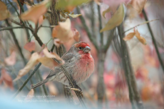 2014.11.30HouseFinch