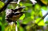 Sunbird Chicks Sunbathing