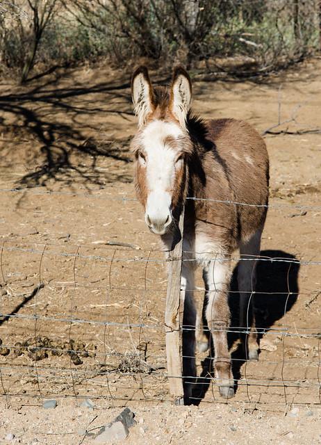Donkey in Kirkland, Az