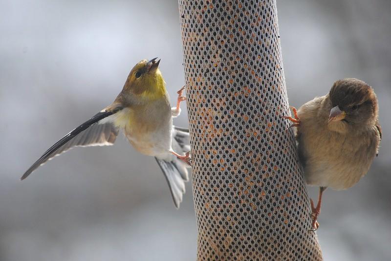 Американский чиж ( American Goldfinch)