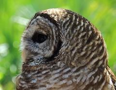 Spirit-Owl
