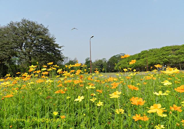 cosmos - Shibpur Botanical Garden #Kolkata