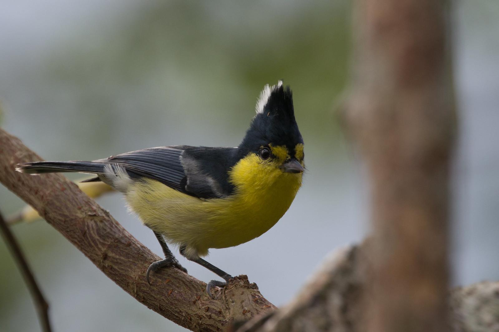 黃山雀大頭版