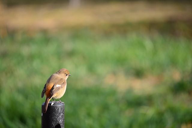 ジョウビタキ3 Daurian Redstart