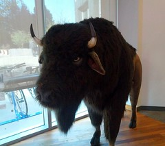 bull(0.0), cattle(0.0), cattle-like mammal(1.0), animal(1.0), mammal(1.0), horn(1.0), yak(1.0), bison(1.0),