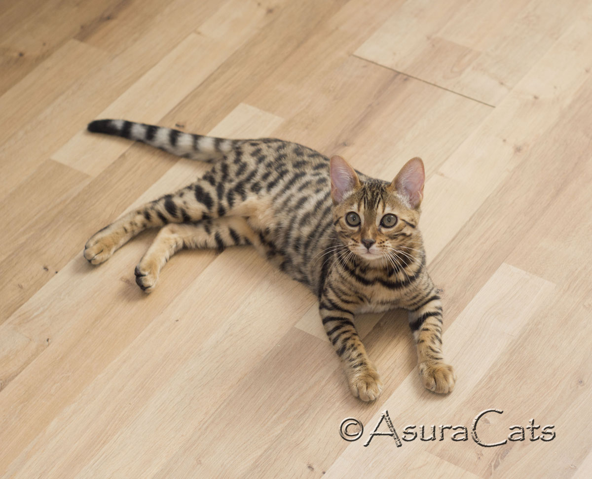 AsuraCats Pie - Brown rosetted male
