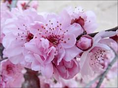 Flowering plum 1